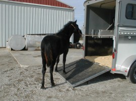 Horse loading onto a trailer